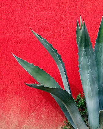 espanol-Agave-on-Red-Wall-Photo